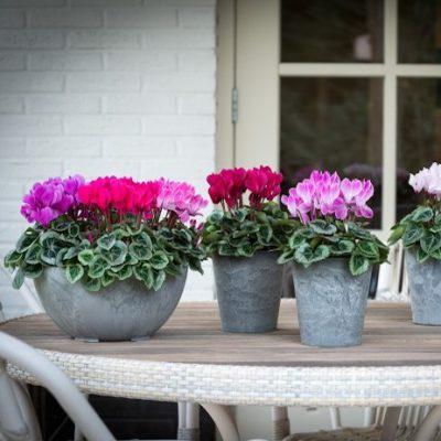 cyclamen veranda selections