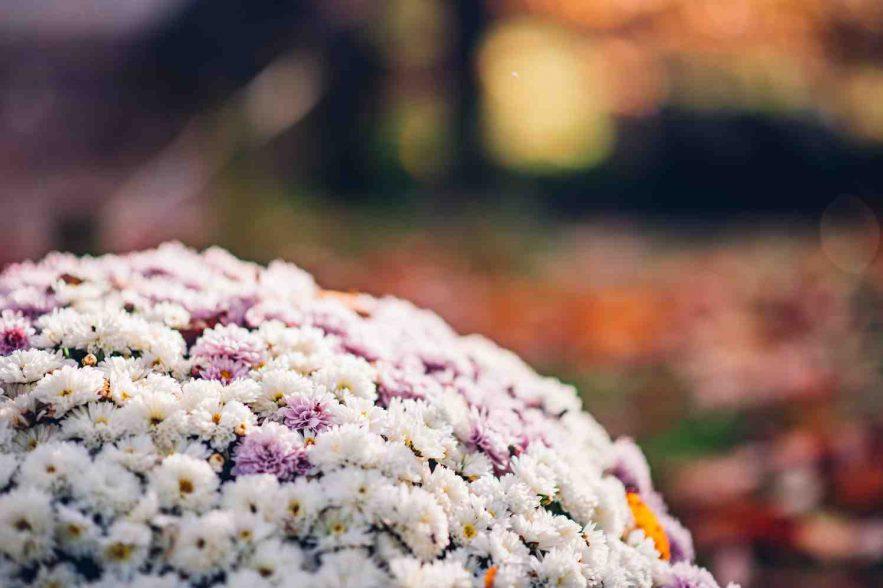 chrysantenfestival in japanse-tuin