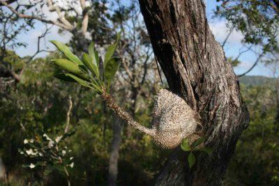 Plantaardig paleis: de mierenplant