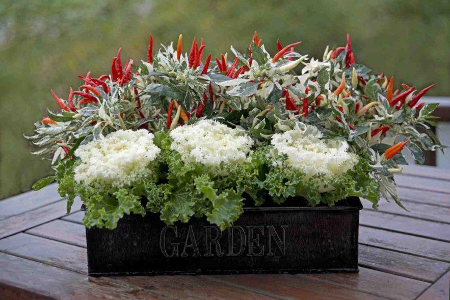 Ornamenties Brassica