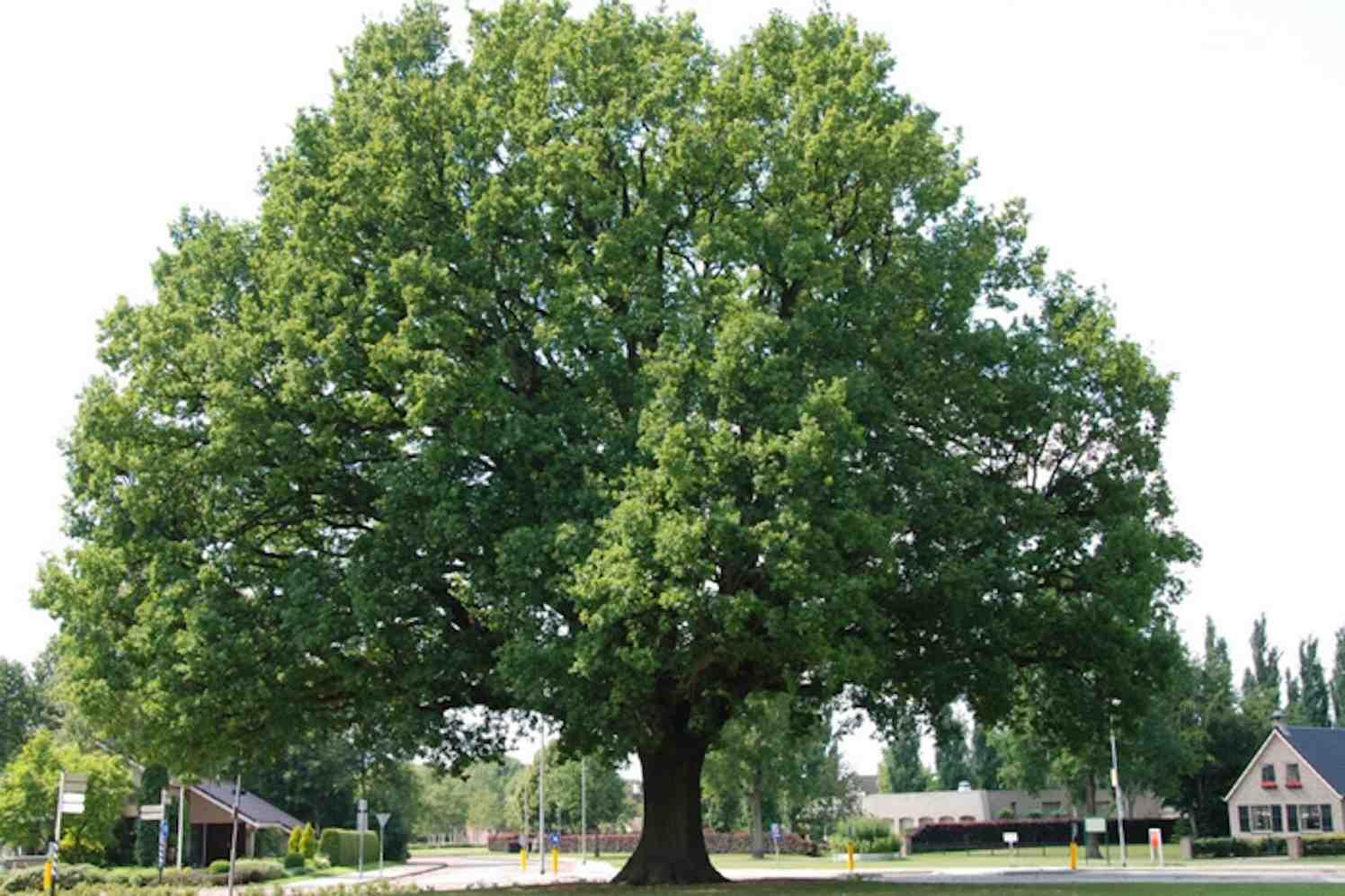 Zomereik in Beilen bomen