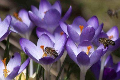 biologische bloembollen