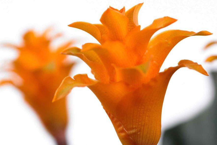 calathea crocata tassmania