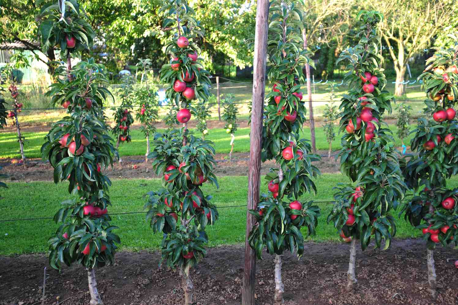 minitree appelhaag