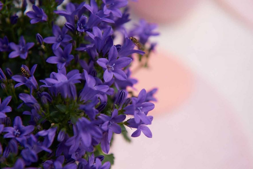 Campanula Ambella® Intense Purple