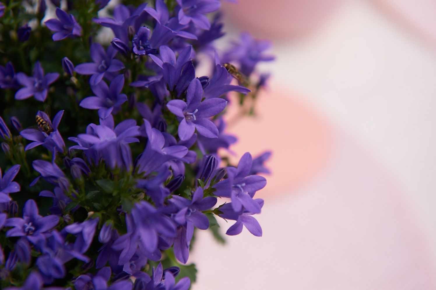 Campanula Ambella® Intense Purple