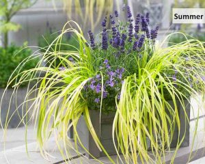 Carex-Evercolor-Everillo