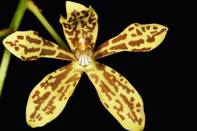 Grammatophyllum_scriptum_Orchid