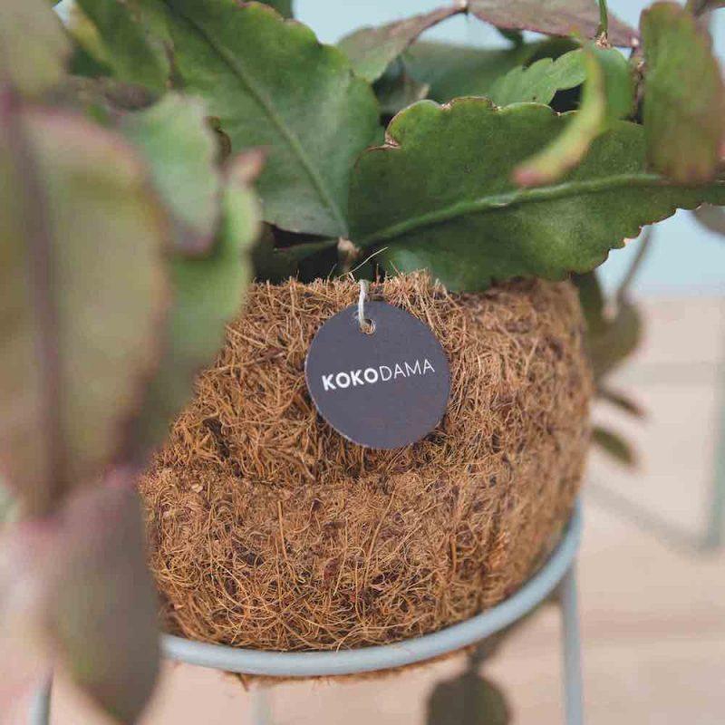 kokodama-kokosnoot