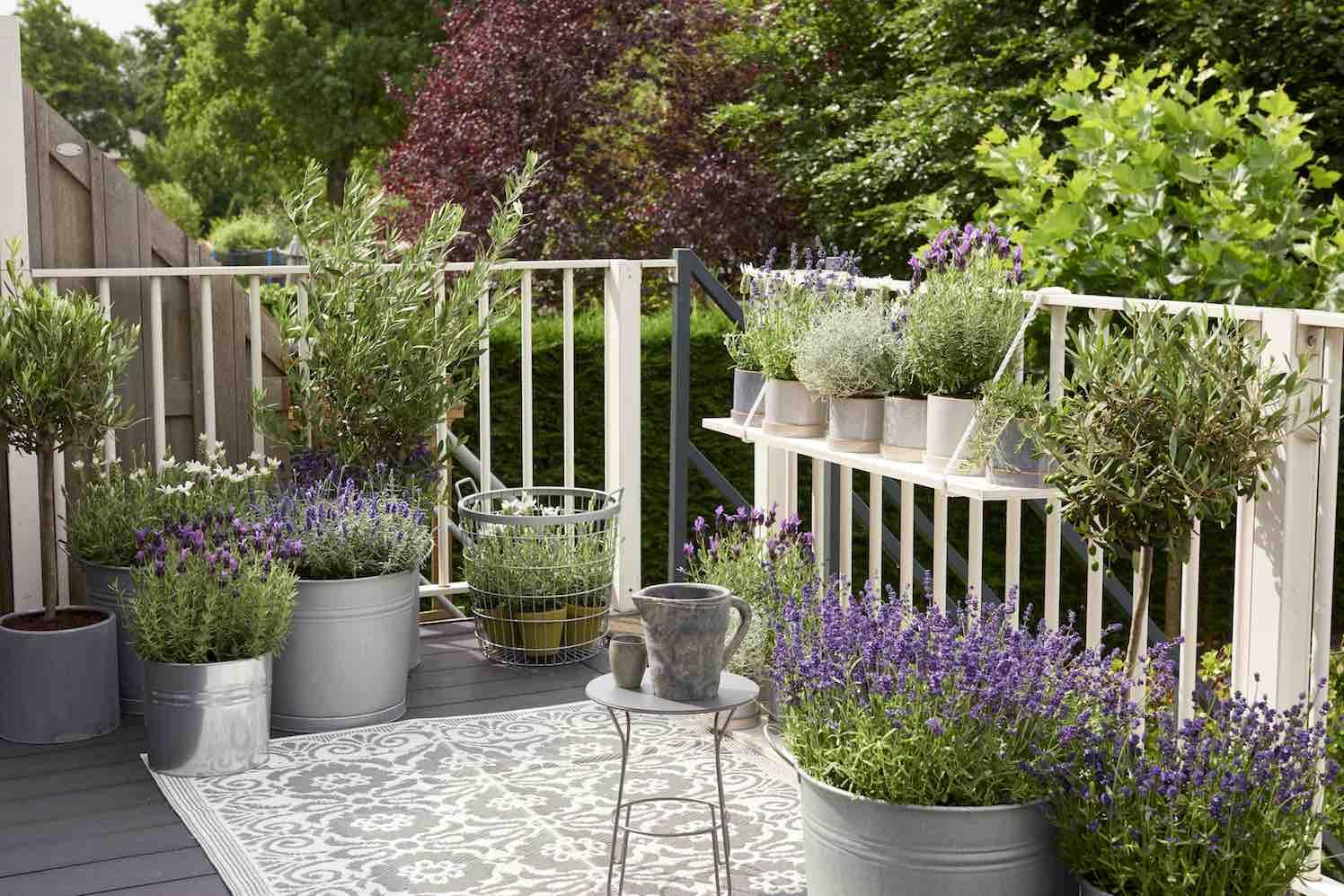 agapanthus en lavendel terras en balkonplant 2018 groenvandaag. Black Bedroom Furniture Sets. Home Design Ideas