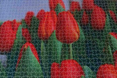 tulpen-genoom