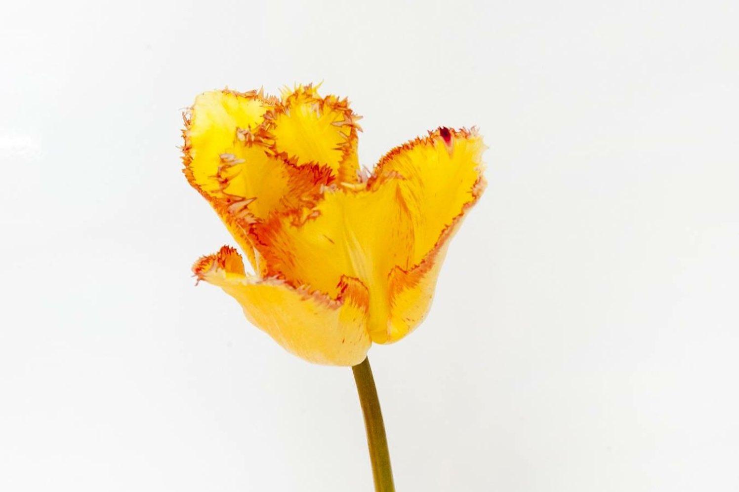 Tulpen-in-Hermitage