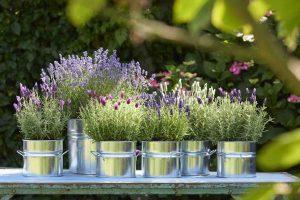 de Agapanthus voor het terras en de Lavendel voor het balkon