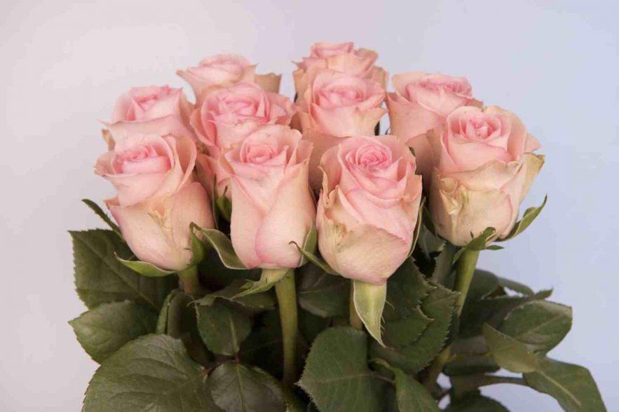 Bloomingdale Roses