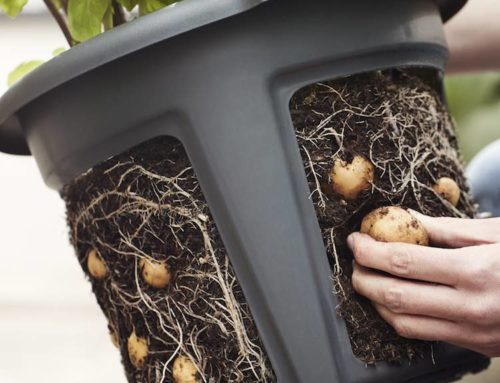 Green Basics Potato Pot