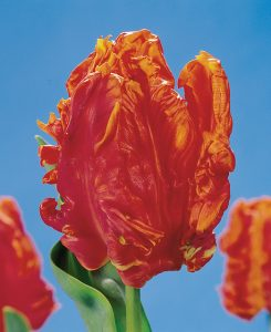 De Monarch Parrot tulp