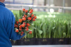 tulpen uit holland