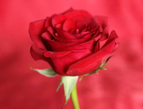 Rozen zijn nummer 1 bloemetje op Valentijnsdag