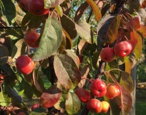 nieuwe appelrassen magic blossom