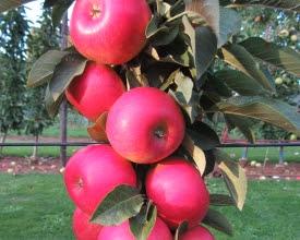 nieuwe appelrassen red summer