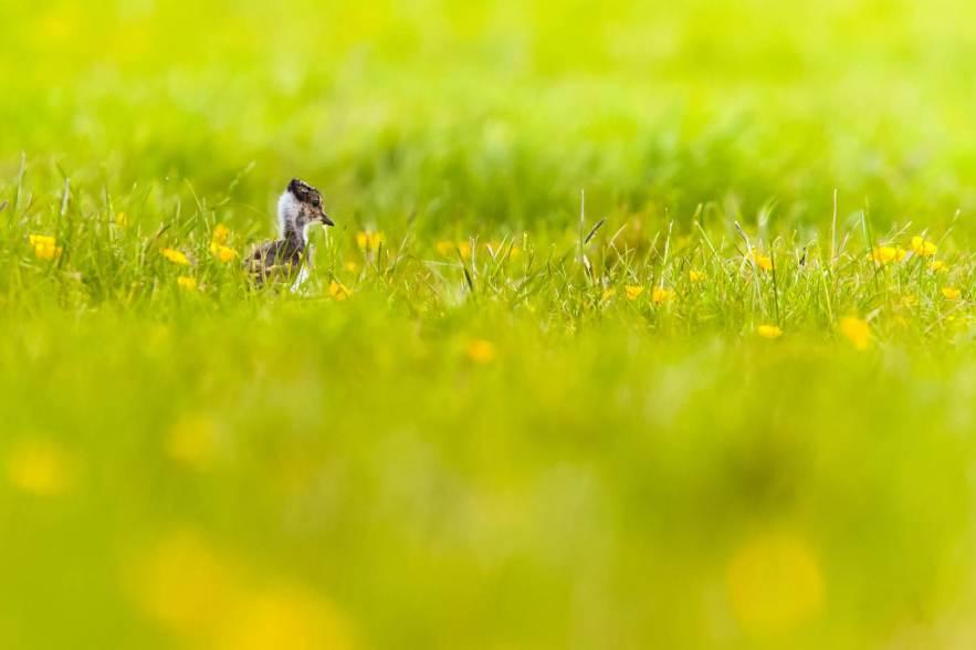 weidevogels