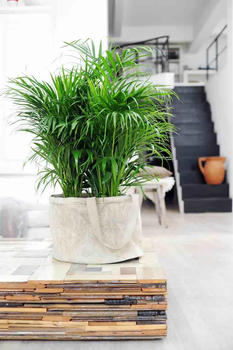 areca palm superplanten