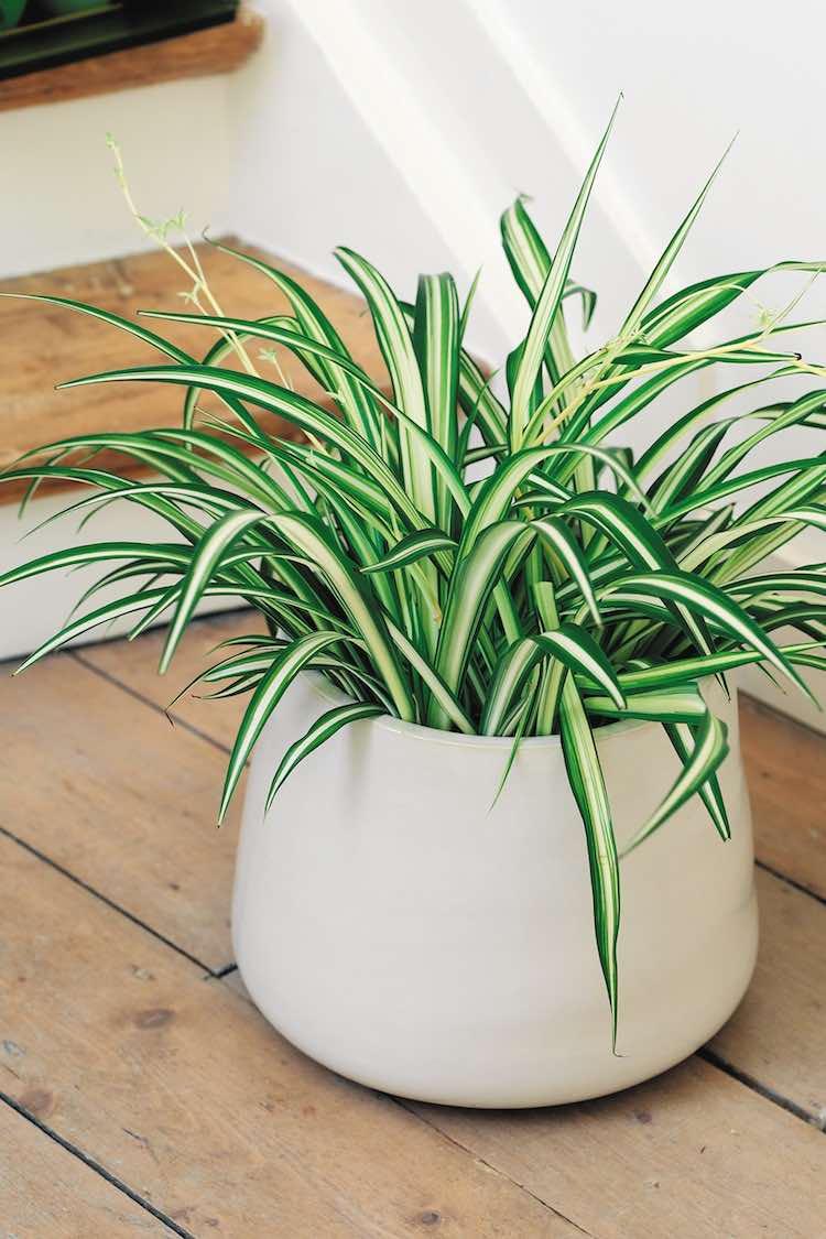 chlorophytum superplanten