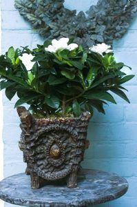 gardenia superplanten