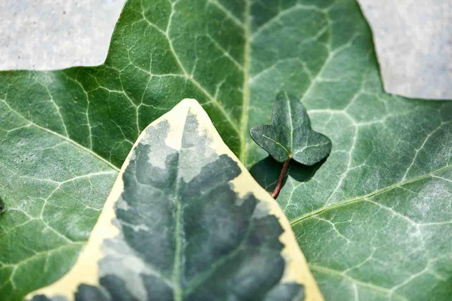 superplanten hedera