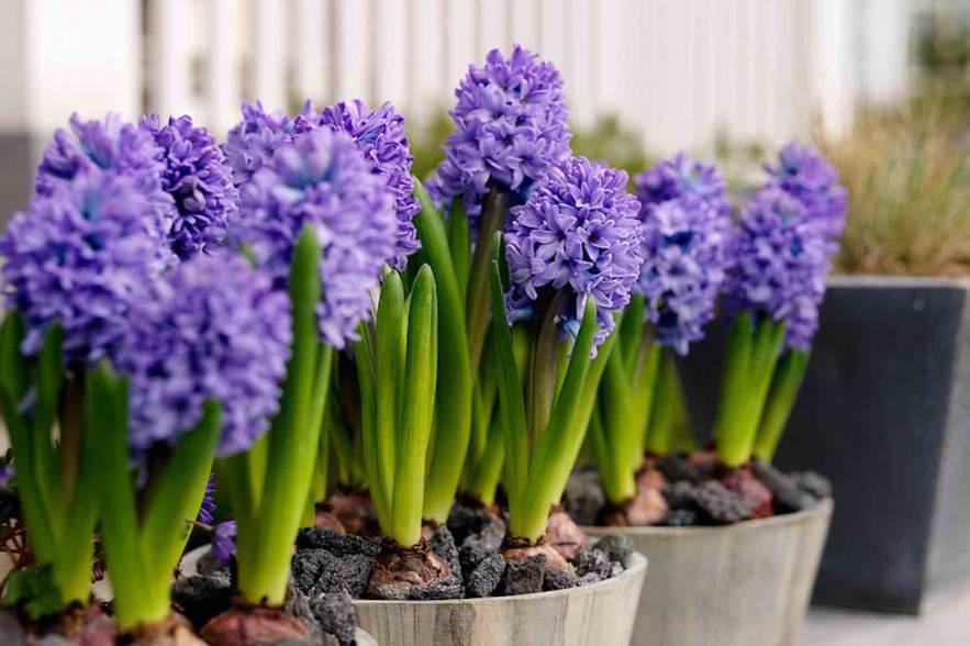 aya hyacint