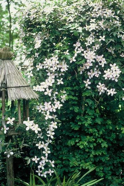 jasmijn superplanten