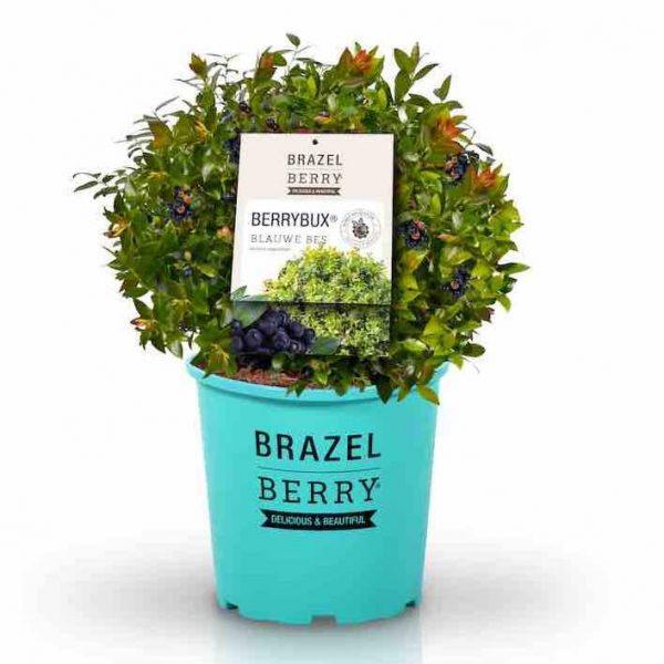 berry bux