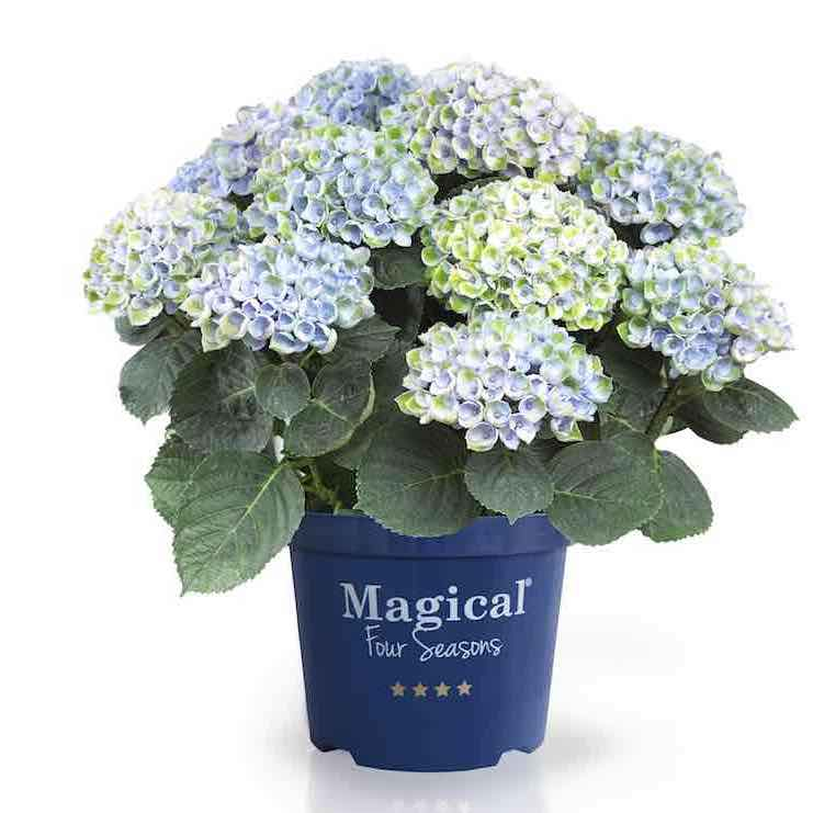 magical hortensia
