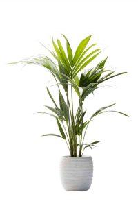 kentia palm zomerbollen