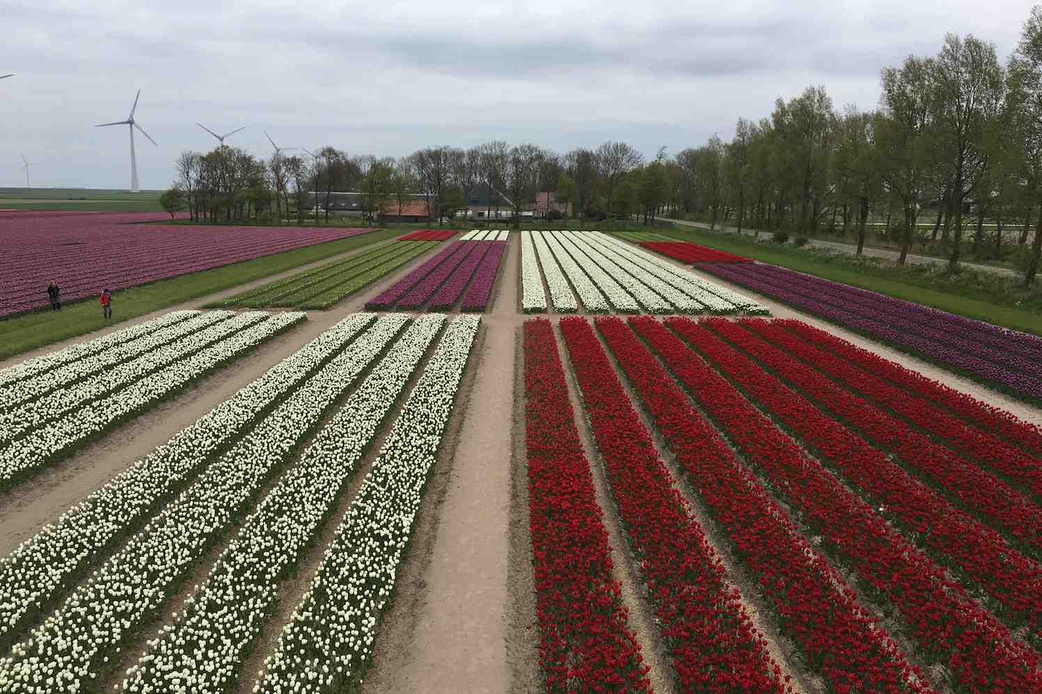 tulpenfestival noordoostpolder