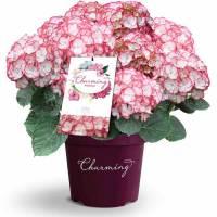 charming hortensia