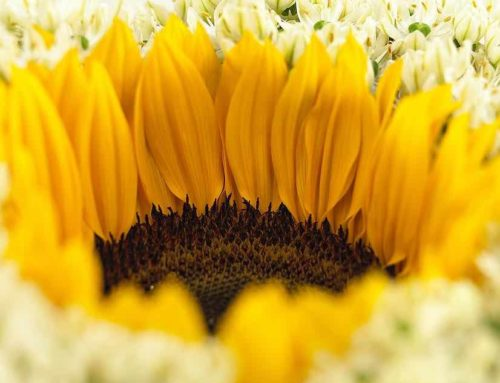 Helianthus Sunrich Provence