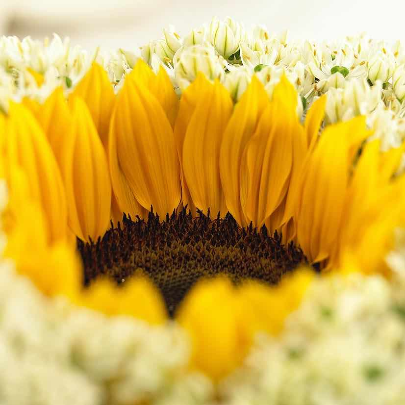 helianthus sunrich