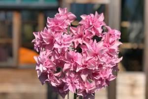 Hydrangea Lathyria