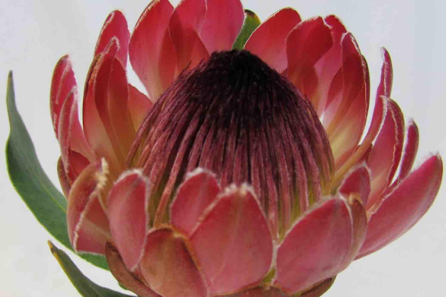 serruria protea