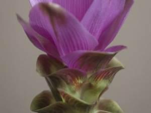 indische pracht, bekerplant