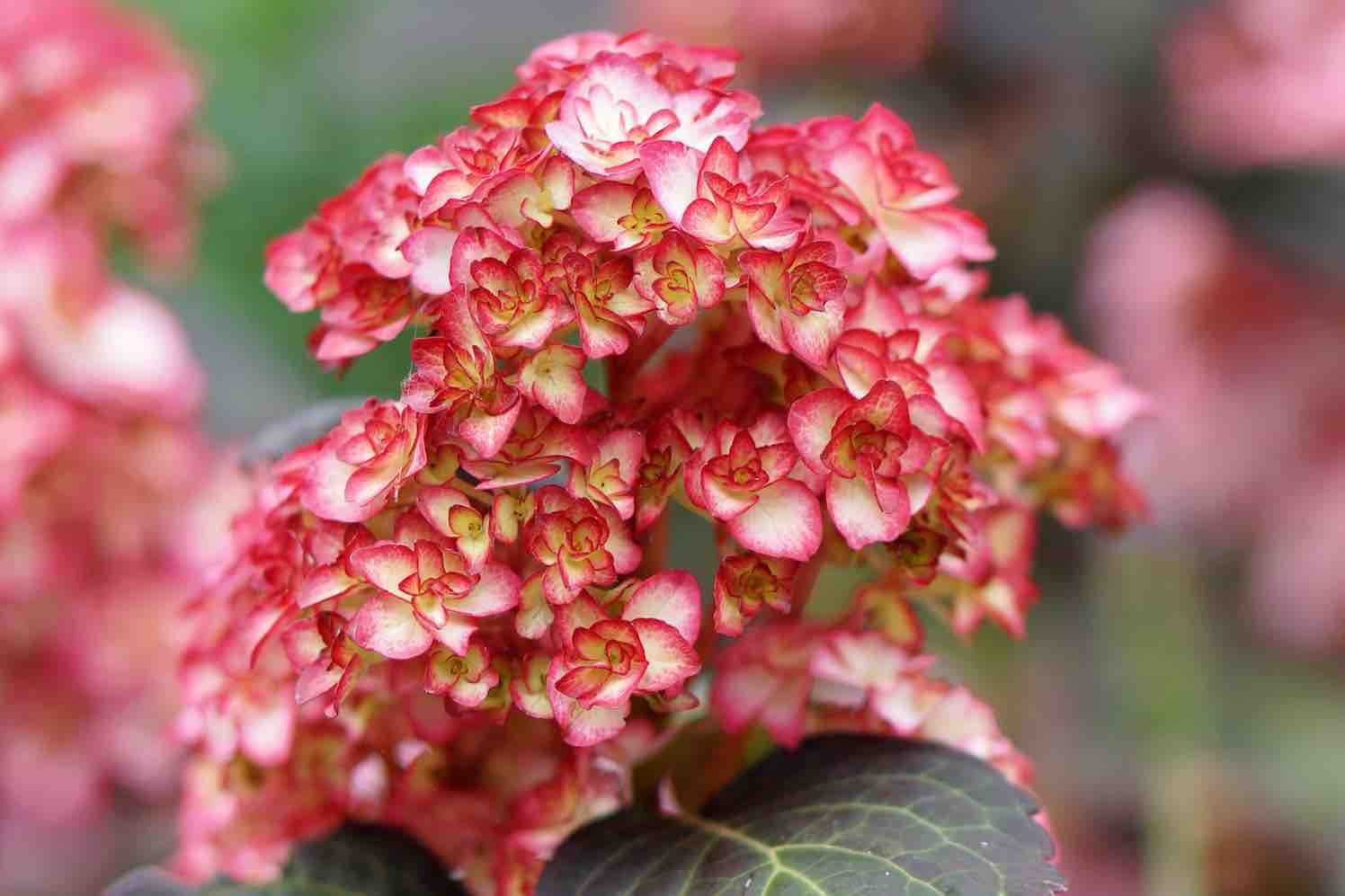Chinees kwekersrecht voor Hydrangea Miss Saori