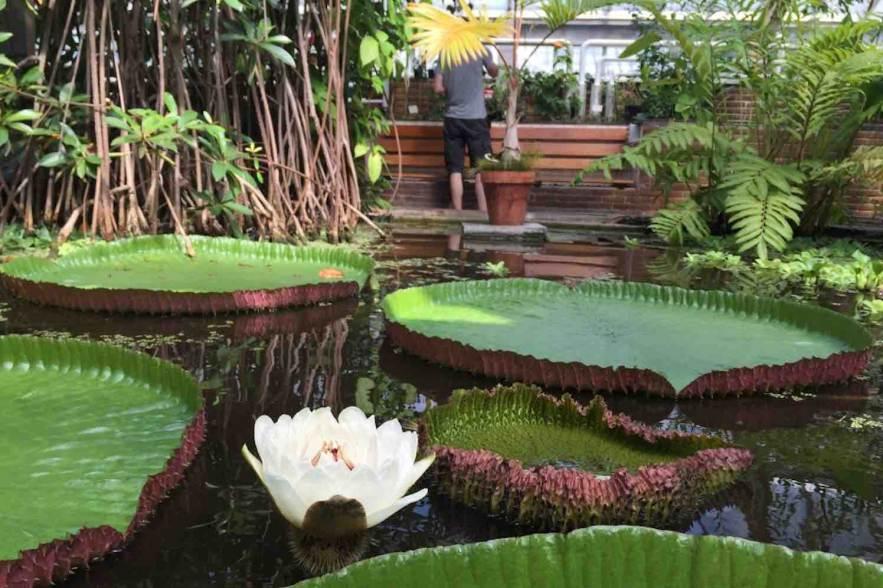 Reuzenwaterlelie in bloei