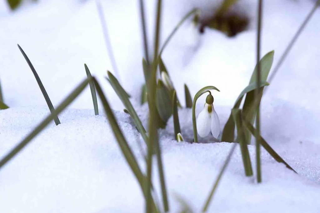 sneeuwklokje