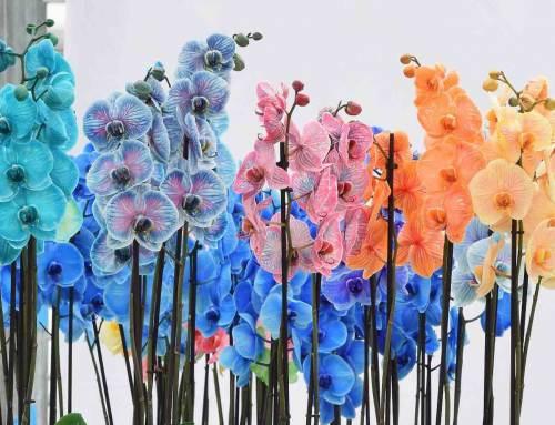 Kweker Piet Vijverberg brengt kleur in orchideeën