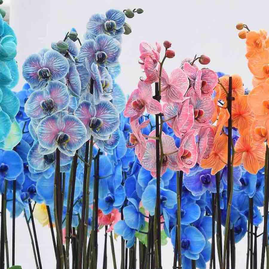 colorchid gekleurde orchideeen