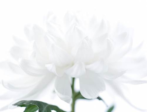Organza, oosterse pluischrysant, Hollandse genen