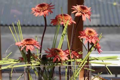 Echinacea Raspberry Truffle