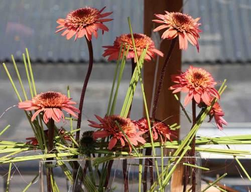 Echinacea Raspberry Truffle, in de schijnwerpers