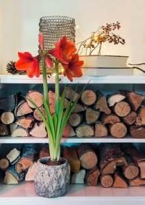 Herfstsfeer met Amaryllis